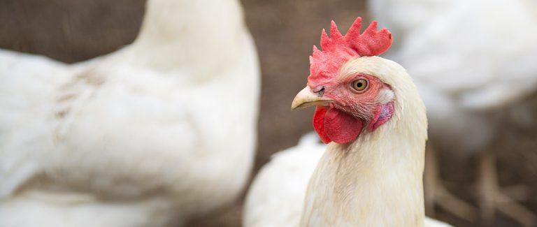 Biologische kip met 3 Ster Beter Leven